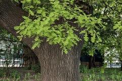 Leafy oak tree Royalty Free Stock Image