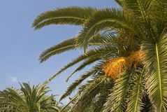 Leafy palm trees. A picture of the top parts of leafy palm trees, standing against the sky Royalty Free Stock Images