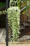 Leafy plant hanging in the garden Royalty Free Stock Images