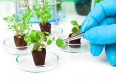 Leafy plant with tweezers next tn the laboratory Royalty Free Stock Photos