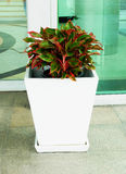 Leafy plants. Green and red colored leafy plants grown as ornamental plants in a pot Stock Photography