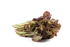 Leafy purple lettuce Stock Image