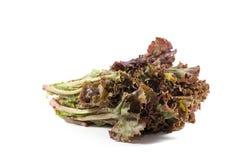 Leafy purple lettuce Stock Image