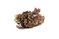 Leafy purple lettuce Royalty Free Stock Image