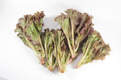 Leafy purple lettuce Royalty Free Stock Images