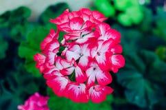Geranium flower. Leafy red geranium flower royalty free stock photography