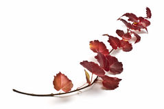 Leafy red Ivy branch Stock Image