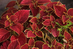 Leafy red plant. Closeup of leafy red plant Stock Images