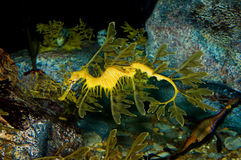Leafy Sea Dragon. (Phycodurus eques) a type of seahorse Stock Photography