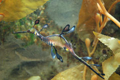 Leafy Sea Dragon. Marine Fish Leafy Sea Dragon - Phycodurus eques - swimming in its natural habitat stock image