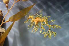 Leafy sea dragon Stock Photo