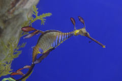 Leafy sea dragon. A close up of a leafy sea dragon in the water stock photography