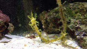 Leafy sea dragon stock video footage