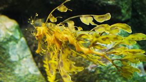A leafy sea dragon swims away. A leafy sea dragon (Phycodurus eques) swims away from the camera stock footage