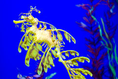 Leafy seadragon. Glauerts seadragon, commonly known as the leafy seadragon, swimming in an aquarium Stock Photo
