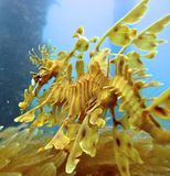 Leafy seadragon Royalty Free Stock Photography