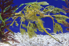 Leafy seadragon Royalty Free Stock Image
