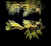 The leafy seadragon, Phycodurus eques Royalty Free Stock Images