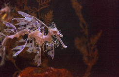 Leafy seadragon, Phycodurus eques. The leafy seadragon, Phycodurus eques, is often yellow and has many leaf-like appendages to help it blend in Royalty Free Stock Photos