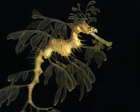 Leafy seadragon Royalty Free Stock Images