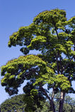 The leafy sibipiruna tree in bloom under the blue sky Royalty Free Stock Photo