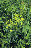 Leafy Spurge  43704 Royalty Free Stock Photo
