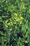 Leafy Spurge  43704 Royalty Free Stock Photo