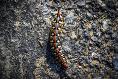 Leafy spurge hawk moth caterpillar (Hyles euphorbiae) Royalty Free Stock Images
