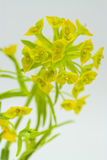 Leafy Spurge on White. Macro of the invasive week leafy spurge on white with focus on top center flowers Royalty Free Stock Photos