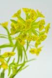 Leafy Spurge on White Royalty Free Stock Photos