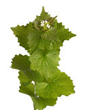 Leafy stem and flowers of garlic mustard isolated Stock Image