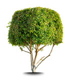 Leafy tree. Leafy green tree with topiary crown isolated on white background stock photography