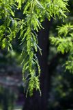 Leafy Tree Branch against Dark Background Stock Photo