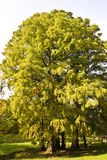 Leafy tree in countryside Royalty Free Stock Photos