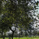Leafy tree giving shade on a sunny day. Poplar tree in the Bicentennial Park of Quito Ecuador on a December morning royalty free stock photo