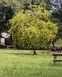 Leafy tree with yellow flowers in the field. Photo of Leafy tree with yellow flowers in the field Royalty Free Stock Photo