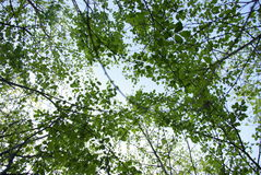 Leafy trees and sky. Scenic view looking up at tops of leafy trees and sky in forest royalty free stock images