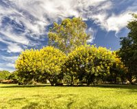 Leafy trees with yellow flowers in the field with blue sky with clouds. Photo of Leafy trees with yellow flowers in the field with blue sky with clouds Stock Photo