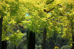 Leafy trees with yellow foliage Royalty Free Stock Photo