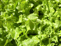 Leafy vegetables Royalty Free Stock Photos