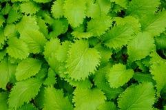 Leafy vegetables Stock Photos
