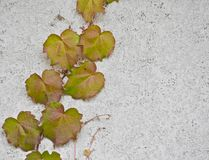 Leafy vine growing up cement wall Stock Photos