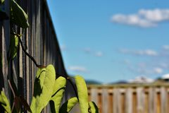 Leafy vine poking through wooden fence stock image