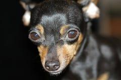 Leal, corajoso, altamente dependente do proprietário do Pinscher diminuto altamente desenvolvido foto de stock