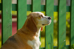 Lealdade do cão Fotos de Stock Royalty Free