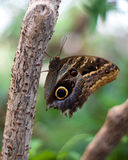 Lean Back Butterfly Royalty Free Stock Photo