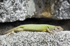 Lean european green lizard (Lacerta viridis) Stock Image