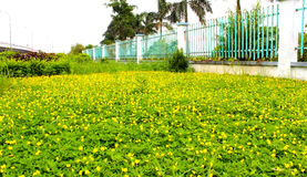 Lean ground yellow flowers, small Stock Photography