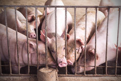 Lean hogs in a farm. Closeup of photo Stock Photo