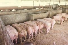 Lean hogs in a farm. Closeup of photo Stock Image